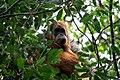 Tapanuli Orangutan Amid Threat of Extinction.jpg
