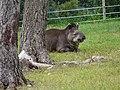 Tapir (2379576309).jpg
