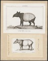 Tapirus indicus - 1700-1880 - Print - Iconographia Zoologica - Special Collections University of Amsterdam - UBA01 IZ22000293.tif