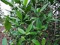 Tarenna asiatica - Asiatic Tarenna 01.jpg