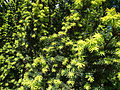 Taxus baccata (cultivar) in Odessa.jpg