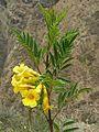 Tecoma sambucifolia - Flickr - Dick Culbert.jpg