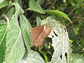 Telinga oculus Marshall, 1880 – Red-disc Bushbrown at Mannavan Shola, Anamudi Shola National Park, Kerala (26).jpg