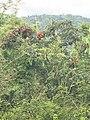 Terminalia paniculata BR hills.jpeg