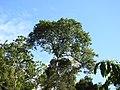 Tetrameles nudiflora habit (2).jpg