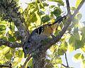 Thamnophilus caerulescens -Ibera Marshes -Argentina-8.jpg