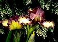 The Iris, (8096410262).jpg