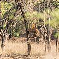 The Jumping Tigress at Bandhavgarh National Park.jpg