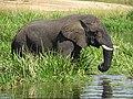 The Ugandan Safari African Elephant.jpg