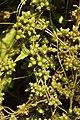 The quarantine parasitic weed hop dodder (Cuscuta lupuliformis Krock.) parasitizing the black elder (Sambucus nigra L.). (1).jpg