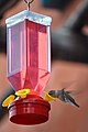 Thirsty Hummingbird (3656546944).jpg
