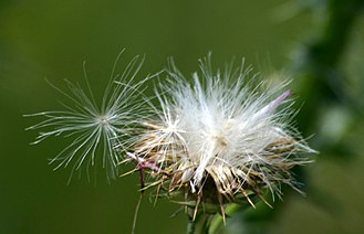 Thistle - Thistledown, a method of seed dispersal by wind. The tiny seeds are a favourite of goldfinches and some other small birds.