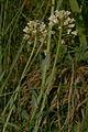 Thlaspi praecox PID1033-3.jpg