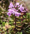 Thymus quinquecostatus (side).JPG