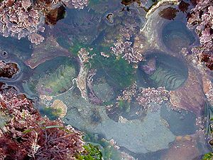 Mesozoic marine revolution - Seaweed and two chitons in a tide pool