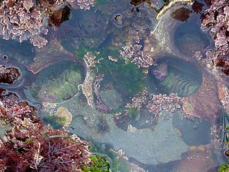 Benthos - Seaweed and two chitons in a tide pool.