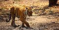Tiger walk.jpg