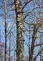 Tinder fungus on a birch in Gullmarsskogen.jpg