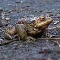 Toad! - by Dave Morris.jpg