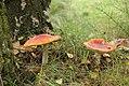 Toadstools (5527616452).jpg