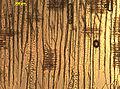 Tracheiden-spiralverstaerkung-douglasie-1.jpg