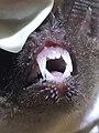 Trachops cirrhosus teeth.jpg