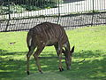 Tragelaphus angasii in the Silesian Zoological Garden 04.JPG