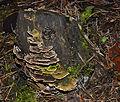 Trametes versicolor - Coriolus versicolor - Polyporus versicolor - Schmetterlingstramete - Bunte Tramete - Schmetterlingsporling - 04.jpg