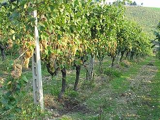 Trebbiano - Trebbiano grapes growing in Marche, Italy.