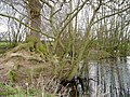 Tree and island near Mere Cheshire - geograph.org.uk - 368213.jpg