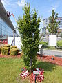 Tree of Peace, Liverpool John Lennon Airport.jpg
