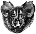 Triaenops persicus.png