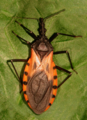 Triatoma dimidiata-adult-rotated-completed.png