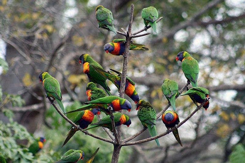File:Trichoglossus haematodus -Lone Pine Koala Sanctuary-6 new.jpg