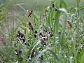 Tricoloured Munia Colony From Kole WetLands Thrissur DSC00139.jpg
