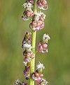 Triglochin maritimum inflorescence (05).jpg