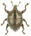 Trigonopterus discoidalis holotype - ZooKeys-280-001-g023.jpg