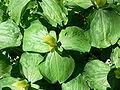 Trillium luteum1.jpg