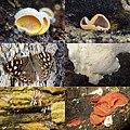 Try-out of making Macro-photo's of Organismen on dead wood Hoge Erf Schaarsbergen. Richt upside is a young Otidea onotica (Gewoon varkensoor). Left upside a Oranje schijnoesterzwammen (Phyllotopsis nidulans) - panoramio.jpg