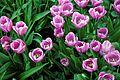 Tulipa 'Alibi' at RHS Garden Hyde Hall, Essex, England.jpg