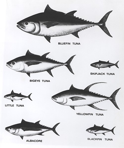 500px-Tuna_Relative_Sizes.jpg