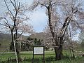 Twin Sakura of Takinosawa.jpg