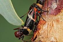 Two-lined gum treehopper03.jpg