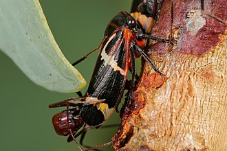 Leafhopper - Adult two-lined gum treehoppers (Eurymeloides bicincta, Eurymelinae) with symbiotic meat ants
