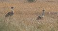Two Great Indian bustards.jpg