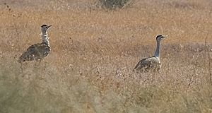 Desert National Park - Two great Indian bustards at the Desert National Park