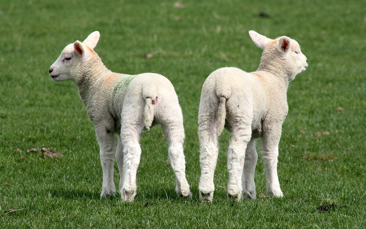 File Two Lambs Rubber Ring Tail Docking Cropped Jpg