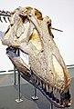 Tyrannosaurus rex head.jpg