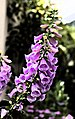 U.S. Botanic Garden in April (23883475462).jpg