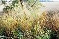 USDA switchgrass.jpg